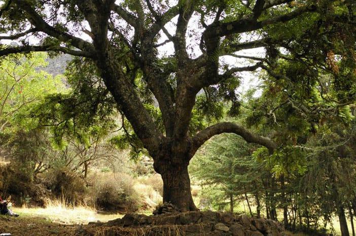 Der Baum von Huanca